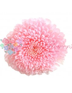 Fr - Chrysanthemum Focus Light Pink