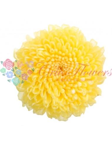 Fr - Chrysanthemum Focus Yellow