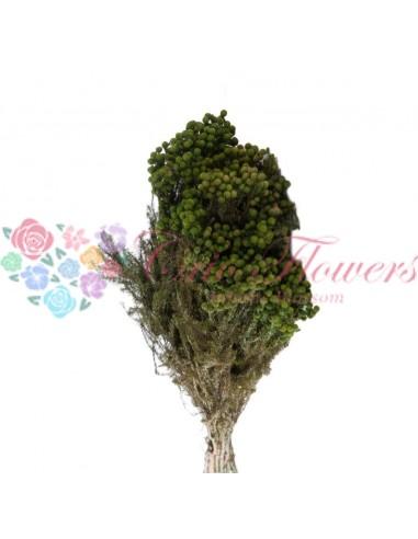 Lanunginosa Stabilizata Criogenata Verde