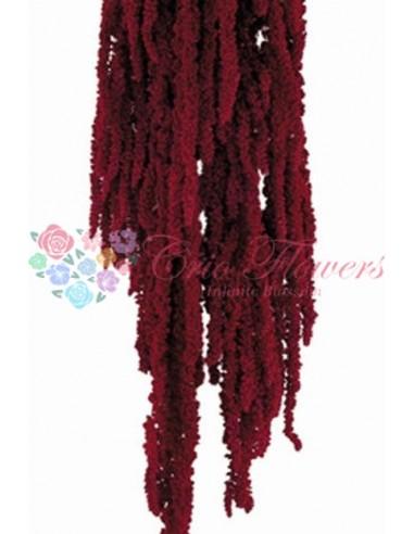 Amaranthus Stabilizat Premium Burgundy