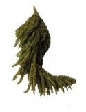 Amaranthus Stabilizat Verde Olive