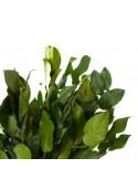 Eucalipt Spiral Baby Stabilizat Verde