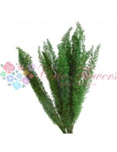 feriga criogenata foxtail