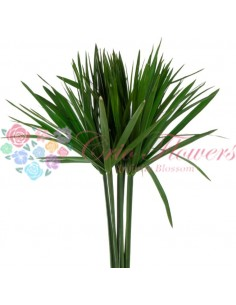 Papyrus Criogenat Verde