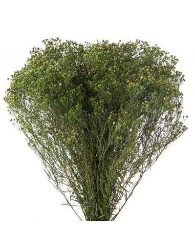 Broom Criogenat Verde