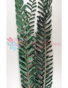 Frunze Palmier Piramida Verde