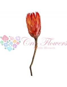 Protea Rosu