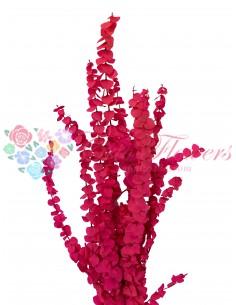 Eucalipt Baby Spiral Criogenat Roz