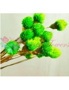 Globe Amaranthus Uscat Verde Lime