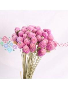 Globe Amaranthus Uscat Roz