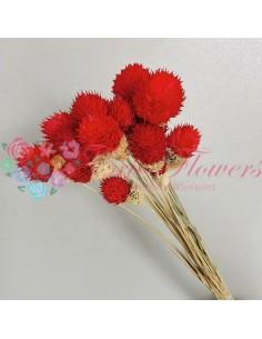 Globe Amaranthus Uscat Rosu