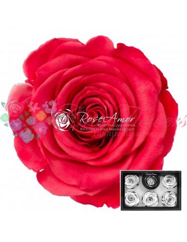 Trandafiri Criogenati Corai Intens XLBic10
