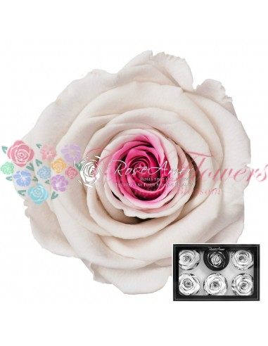 Trandafiri Criogenati Alb Roz XLBic14