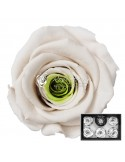 Trandafiri Criogenati Alb Verde XLBic18