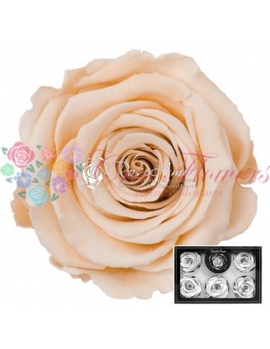 Trandafiri Criogenati Sampanie XLCha01