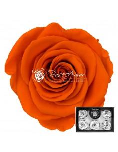 Trandafiri Criogenati Portocaliu XLOra02