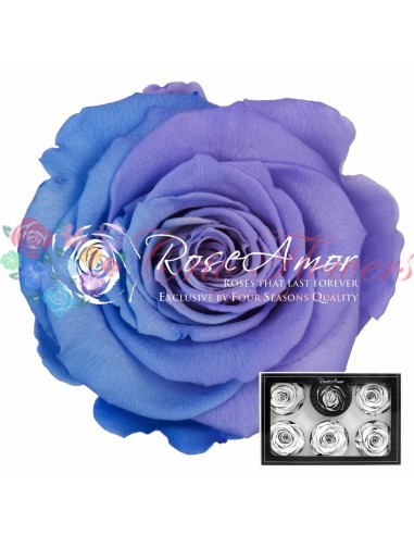 Trandafiri Criogenati Mov Lila XLBic53