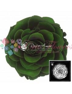 Trandafiri Criogenati Verde BonitaGre02