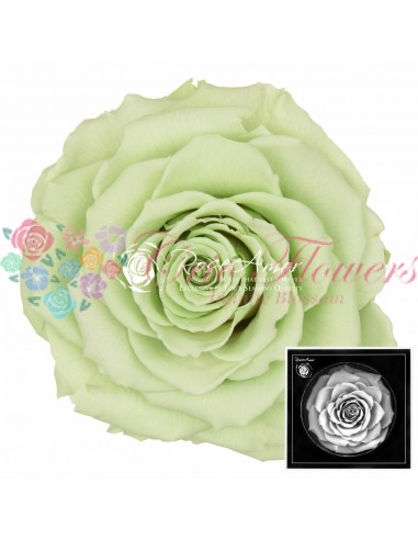 Trandafiri Criogenati Verde Lime BonitaGre04
