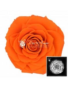 TrandafirI CriogenatI Portocaliu BonitaOra02