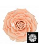 Trandafiri Criogenati Somon BonitaPea01