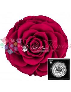 Trandafir criogenat Ciclam BonitaPin05