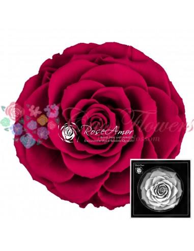 Trandafiri Criogenati Ciclam BonitaPin05