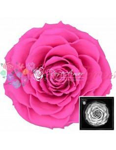 Trandafiri Criogenati Fucsia BonitaPin07