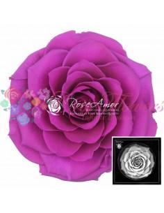 Trandafiri Criogenati Mov Intens BonitaPur02