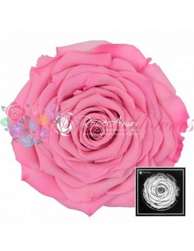 Trandafiri Criogenati Roz XXLBic08