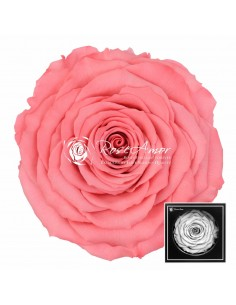 Trandafiri Criogenati Corai XXLBic09