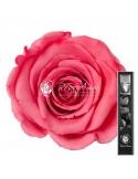 Trandafir Criogenat Tija Corai 30cmBic09