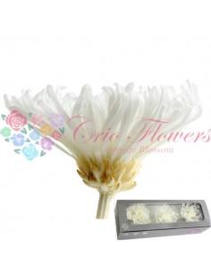 Crizantema Anastasia Criogenata Alb