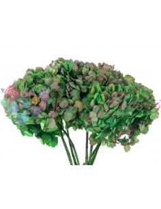 Hortensie Criogenata Bicolor Verde Roz