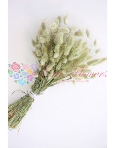 Lagurus Verde Pal