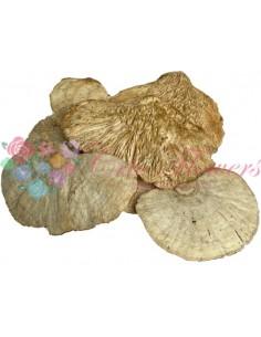 Ciuperci Decorative Albite