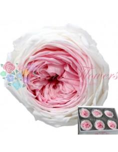 Trandafiri de Gradina Criogenati Bicolor Roz Alb GBicRozAlb