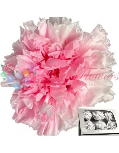 Garoafa Criogenata Bicolor Roz Alb