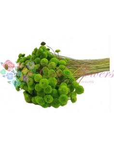 Botao Criogenat Verde Deschis