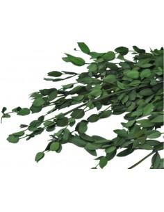 parvifolia criogenata