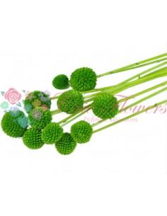 Craspedia Criogenata Verde Inchis