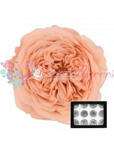 Trandafiri Criogenati Gradina Somon AmeliaPea01