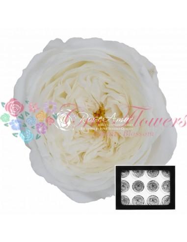 Trandafiri Criogenati Gradina Alb AmeliaWhi01