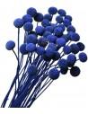 Craspedia Uscata Albastru