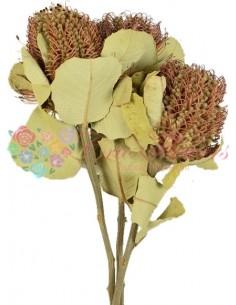 Banksia Coccinea Natur