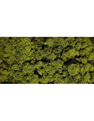 Licheni Stabilizati Verde Olive
