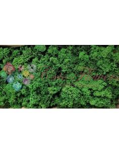 Licheni Albastru-500gr