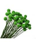 Craspedia Uscata Verde