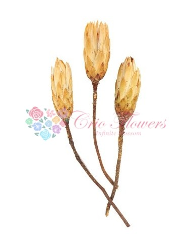 Protea Mini Galben Natur