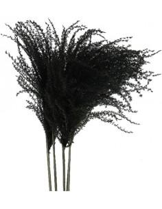 Miscanthus Negru
